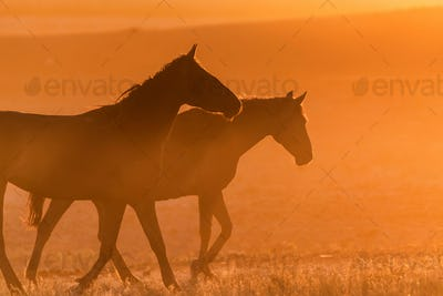 Wild horses graze in the meadow at sunset