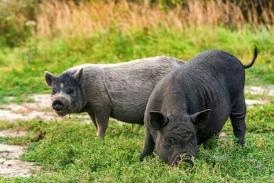 Two cute black funny active Vietnamese pig outdoor