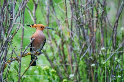 Eurasian hoopoe or Upupa epops perches on twig in steppe