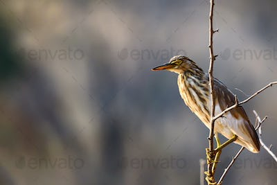 Ardeola grayii or Indian Pond Heron on branch
