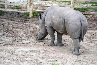 White rhinoceros or Ceratotherium simum grazing in captivity
