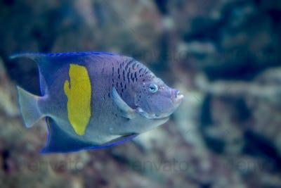 Yellowband angelfish or Pomacanthus maculosus