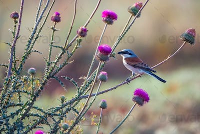 Red-backed Shrike or Lanius collurio on branch with flowers