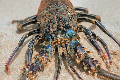Live lobster on beach