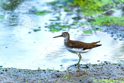Green sandpiper or Tringa ochropus walks on lake