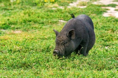 Cute black funny active Vietnamese pig outdoor