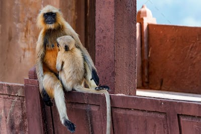Mother and child of Gray langur or Semnopithecus etellus
