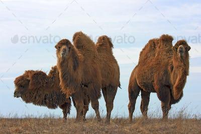 Bactrian camels (Camelus bactrianus