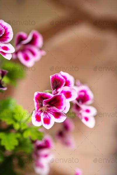 Macro closeup purple Pelargonium flowers