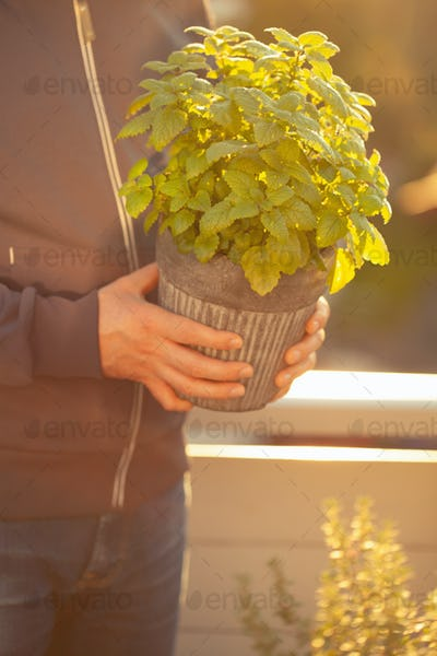 gardener holding lemon balm (melissa) in flowerpot on balcony
