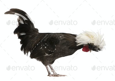 Holland dwarf rooster white-crested chicken, 5 months old, standing in front of white background