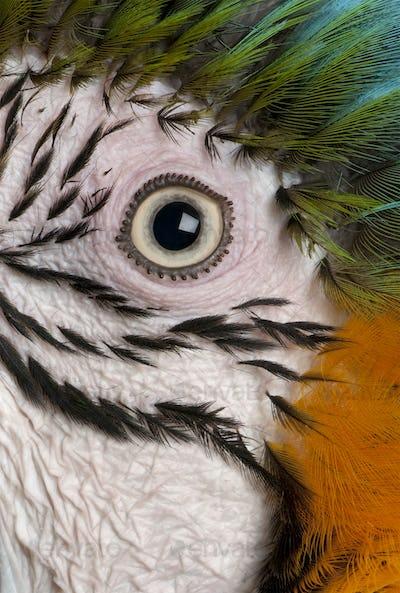 Close-up of Blue-and-yellow Macaw's eye, Ara ararauna