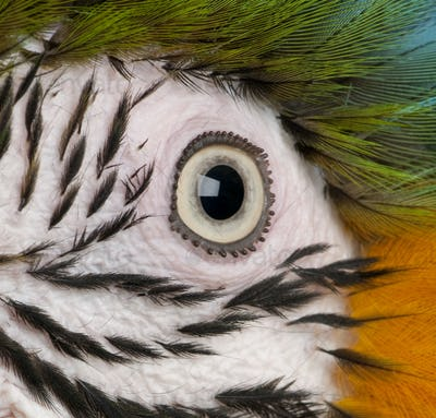 Close-up of Blue-and-yellow Macaw's eye, Ara ararauna