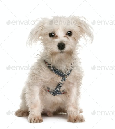 Portrait of bad 6 months old Maltese puppy, sitting in front of white background