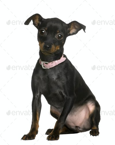 Portrait of Pinscher puppy wearing pink collar, 5 months old, in front of white background