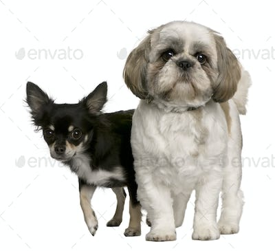 Shih Tzu and Chihuahua, standing in front of white background