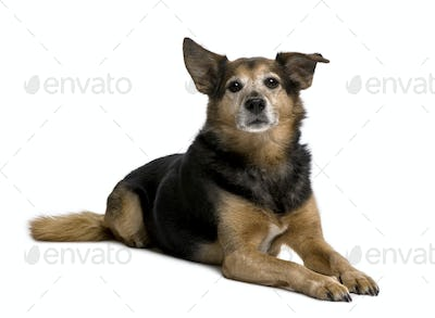 Old Bastard dog, 11 years old, sitting in front of white background