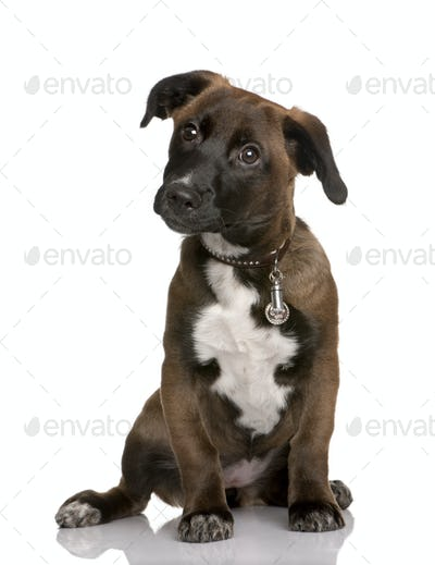 Bastard puppy, 4 months old, sitting in front of white background