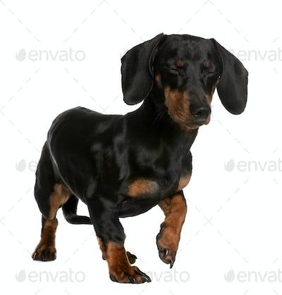 Daschund, 10 months old, standing in front of white background