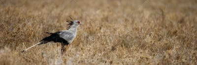 Side view of Secretary bird, Serengeti National Park, Serengeti, Tanzania, Africa