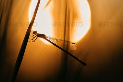 Silhouette of damselfly among the warm light of sunset