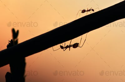Silhouette of ant the plant