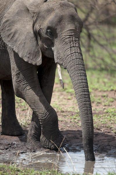 African elephant drinking, Serengeti National Park, Serengeti, Tanzania, Africa