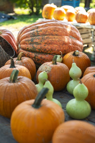 Variety of many pumpkins on the market. Different types pumpkins