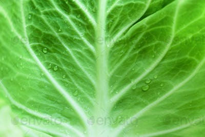 Drops of morning dew on cabbage leaf. Vegetable concept. Macro shoot, top view