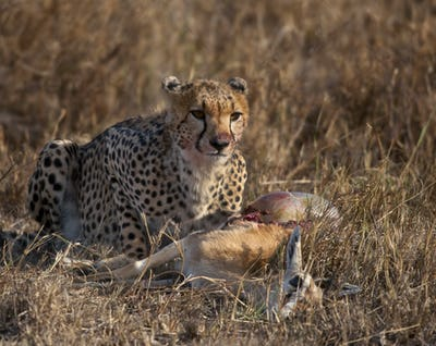 Cheetah eating prey, Serengeti National Park, Tanzania, Africa