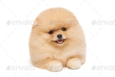 Pomeranian puppy beige color