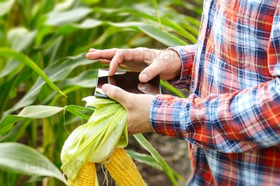 Farmer using tablet computer for inspecting maize corn field