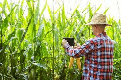 Farmer using tablet computer for inspecting maize corn field. Ha