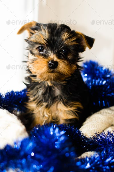 New Year , Christmas gist. Yorkshire Terrier puppy sitting, 2 months old