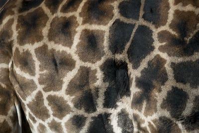 Close-up of giraffe skin