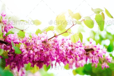 Blooming Judas tree. Cercis siliquastrum, canadensis, Eastern redbud. Blossom pink flowers branch in