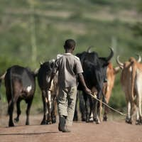 Rear view of boy with herd of cattle, Serengeti National Park, Serengeti, Tanzania, Africa