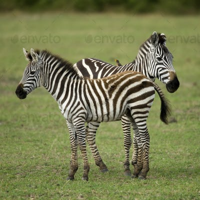 Two zebras standing in field of grass