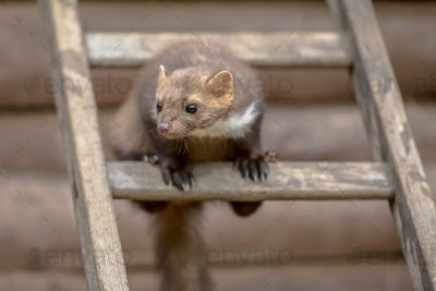 Stone marten on ladder