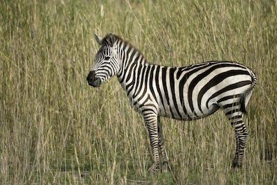 Zebra in Serengeti, Tanzania, Africa
