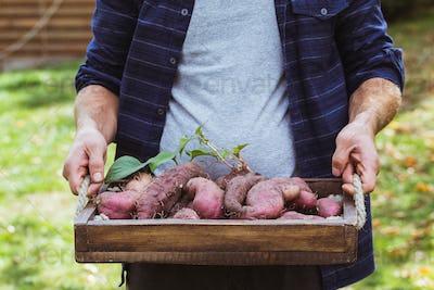 Fresh organic sweet potatoes in hands. Organic vegetables