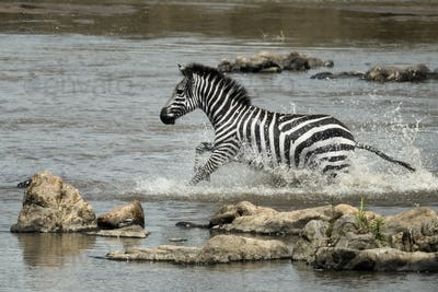 Zebra crossing river, Serengeti National Park, Serengeti, Tanzania