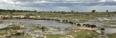 Wildebeest crossing the river in the Serengeti, Tanzania, Africa