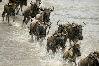 Wildebeest running in river in the Serengeti, Tanzania, Africa