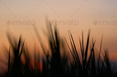 Silhouette grass blade with warm sky