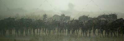 Wildebeest herd, Tanzania, Africa