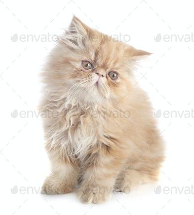 persian kitten in studio