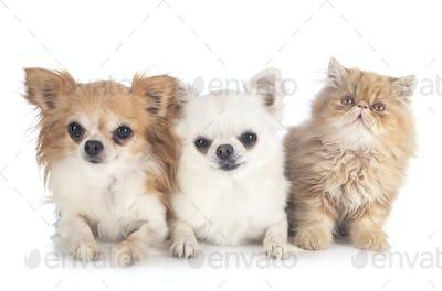 persian kitten and chihuahuas