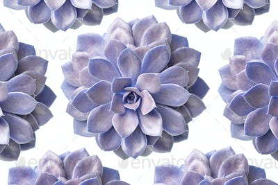 Pattern of purple succulent plant isolated on white
