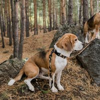 Two cute purebred puppies with collars and leashes standing on big stones